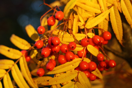 Red mountain ash on a background of yellow foliage. Autumn Stock Photo