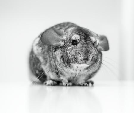 chinchilla: Grey chinchilla Stock Photo