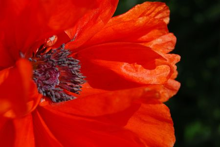 closeup of the blossom of a red poppy