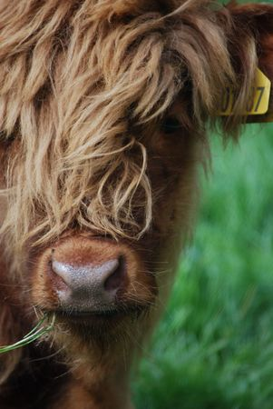 closeup of a male highland calf with typical long hair photo