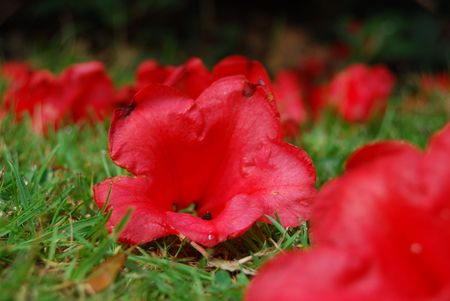 wilted red rhododendron fallen on a lawn photo