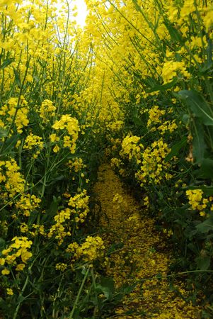 yellow rape field with shallow depth photo