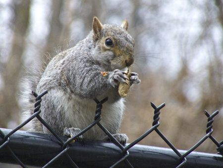 squirrel sitting on a fence in Central Park eating a peanut photo