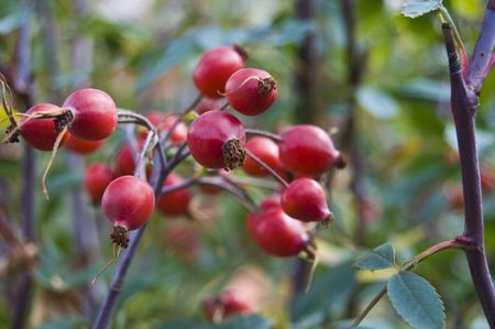 beautiful red rose hips on a bush photo