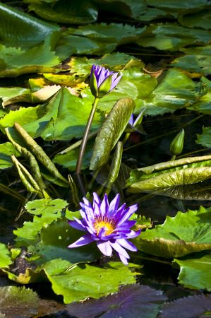 beautiful violet nymphaea growing on a lake photo