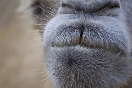 masticate: closeup of the mouth of a camel