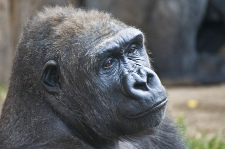 closeup of a sad looking contemplating gorilla photo