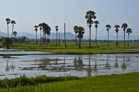 green rice fields standing in lots of water  photo