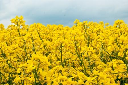 yellow rape field with shallow depth photo