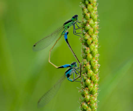 trusted: Mating dragonfly