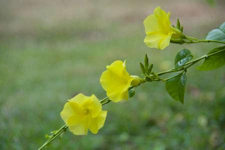 dipladenia: Mandevilla giallo