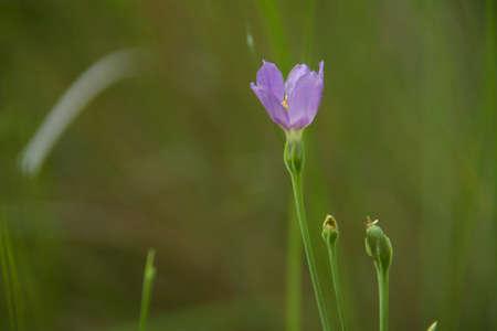 violette fleur: Blooming fleur pourpre