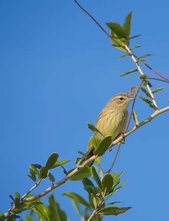 warblers: Mockingbird with blue sky Stock Photo