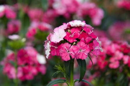 amazon dianthus plant Reklamní fotografie