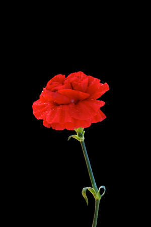 Red carnation on black isolated