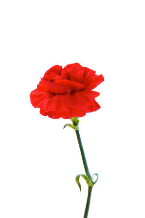 red  carnation: Red Carnation on white isolated Stock Photo