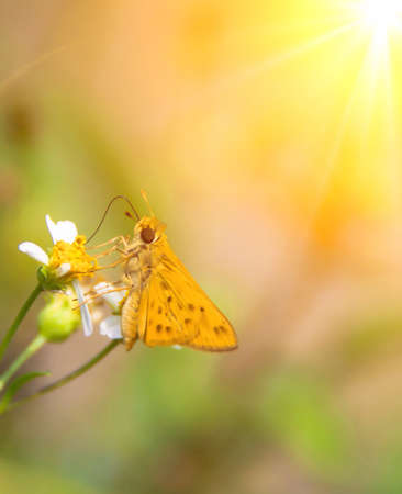 sandhills: Sandhill skipper on wildflower