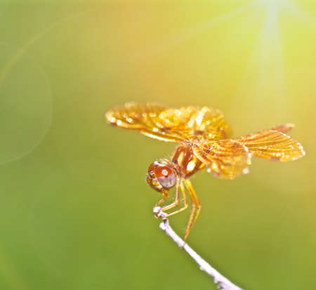 up: Close up golden dragonfly Stock Photo