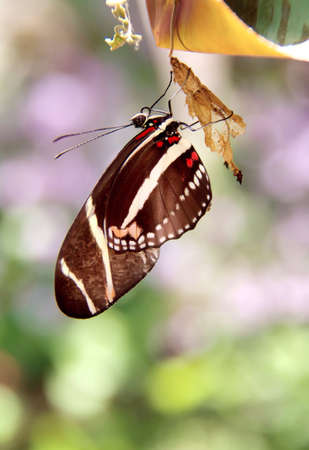 inset: New born zebra butterfly on cocoon