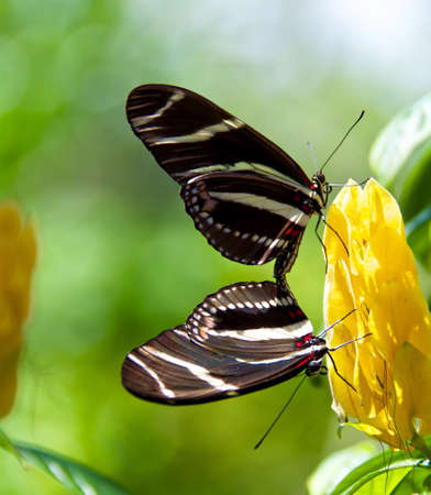 mating: Zebra butterfly mating