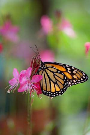 Monarque sur les fleurs roses Banque d'images - 43080695