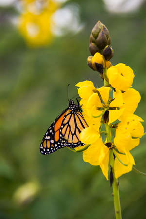 goldenrod: Monarch butterfly on yellow flowers Stock Photo
