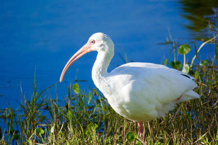 blue: White ibis and blue water