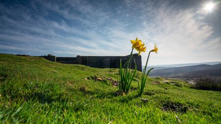 A yellow daffodil basques in spring summer sunshine on the moors above top withens haworth