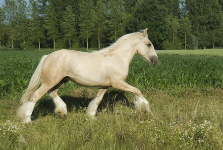 irish cob (tinker) horse running freely in meadow