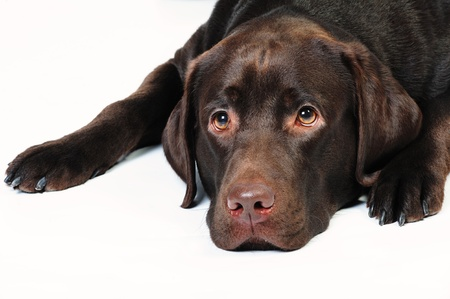 Chocolate labrador with sad expression lying in studio on a white background