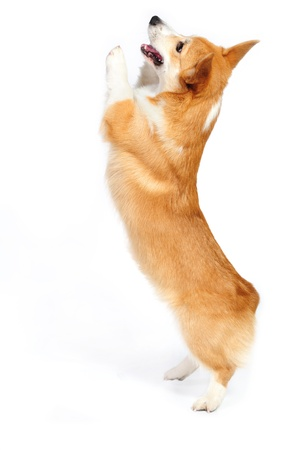 corgie dog standing up on his rear legs on the white background in studio Standard-Bild