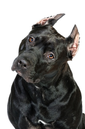 american staff: Black American staffordshire terrier