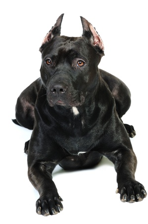 American black staffordshire terrier photo