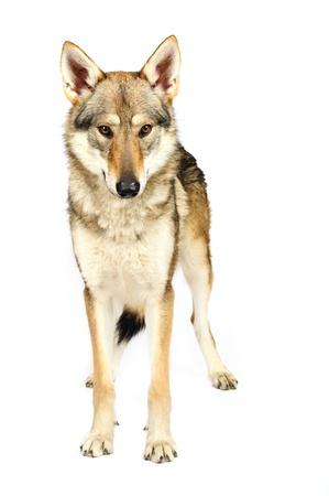 black and white wolf:  Czechoslovak wolfhound Stock Photo