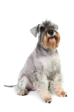 Schnauzer in front of a white background in studio