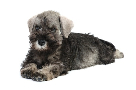 schnauzer puppy in studio on a white background