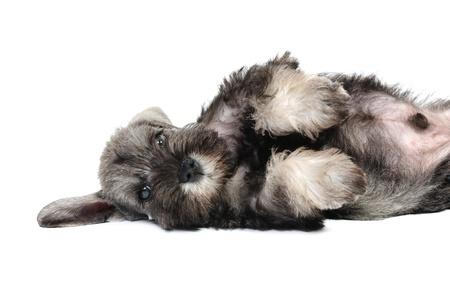behavior: cachorros Schnauzer en estudio sobre un fondo blanco