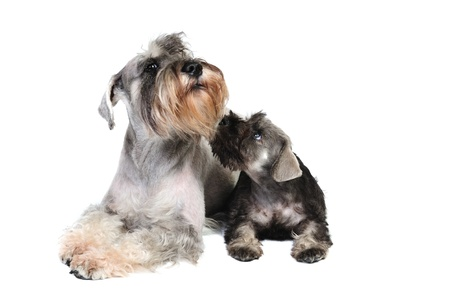 Two schnauzer dogs in studio on a white background photo