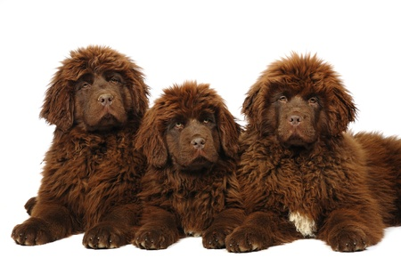 A group of three newfoundland dog puppies in studio