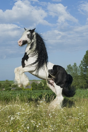 Beautiful Irish cob (tinker) horse prancing in paddock Standard-Bild