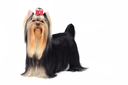 show dog: yorkshire terrier in studio