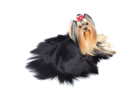 miniature dog: yorkshire terrier in studio