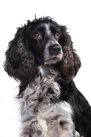 Russian spaniel dog Standard-Bild