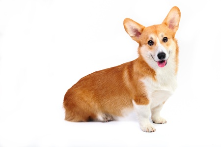 corgi pembroke in studio