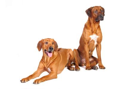 ridgeback: Two Rhodesian Ridgeback Dogs in studio