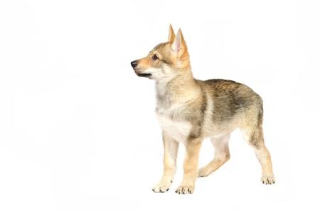 Tsjecho-Slowaakse wolfshond puppy in studio op witte achtergrond Stockfoto