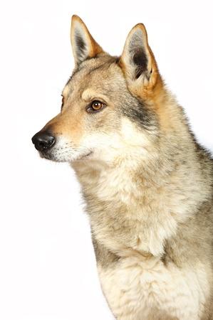 czechoslovak: Czechoslovak wolfhound in studio on white background