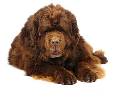 Newfoundland: Big newfoundland dog in studio  Stock Photo