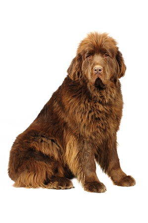 Big newfoundland dog in studio  Standard-Bild