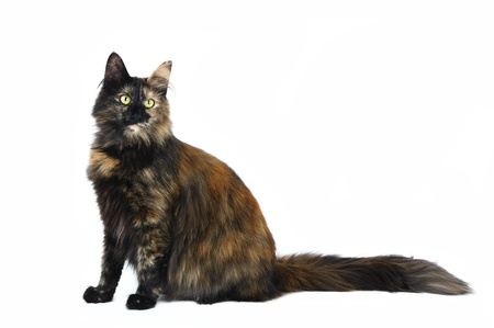 Norwegian forest cat in studio Stock Photo - 9913471